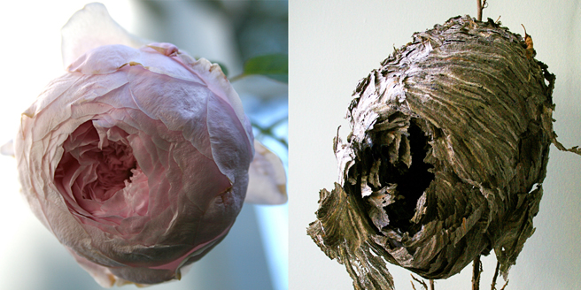 Marie Cameron Rose Nest & Wasp Petals  front 2012