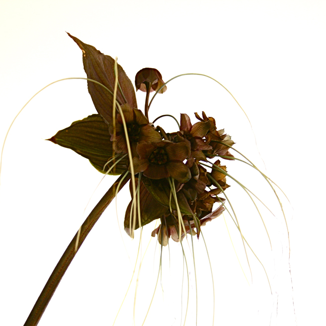 Bat Lily sepia side - photo by Marie Cameron 2012