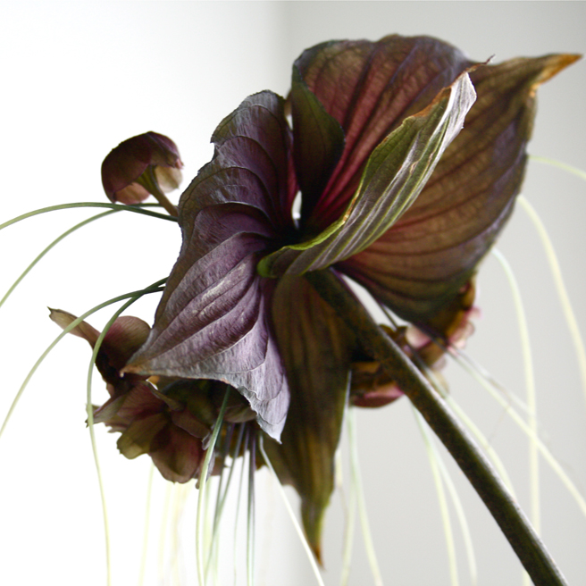 Bat Lily Bloom detail -photo Marie Cameron 2012