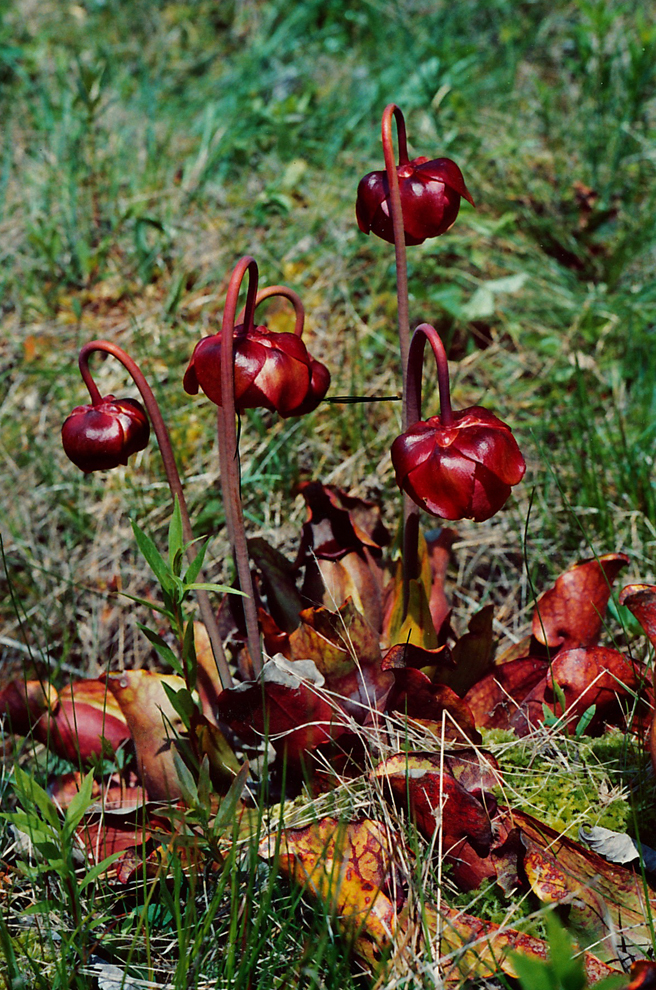 Northern Pitcher Plant - photo Marie Cameron 1981