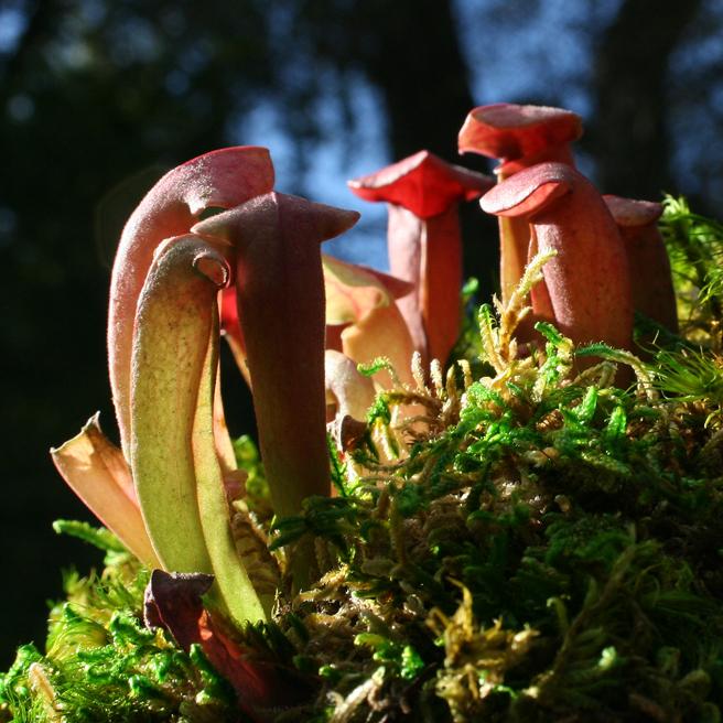Parrot Pitcher Plant 3 - photo Marie Cameron 2012