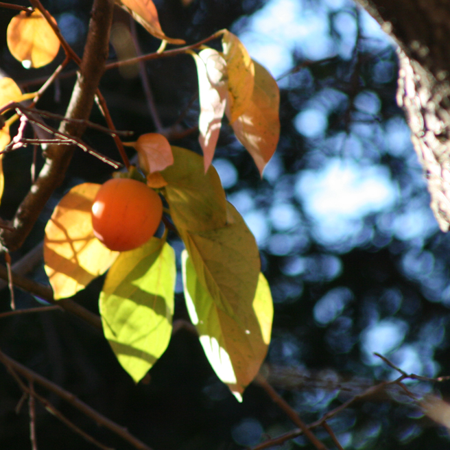Persimmon Branches and Sky photo Marie Cameron 2012