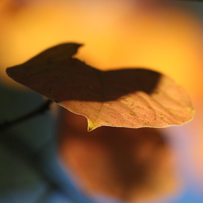 Persimmon Leaf photo Marie Cameron 2012