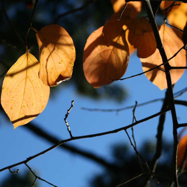Persimmon Leaves Peach and Blue Photo Marie Cameron 2012