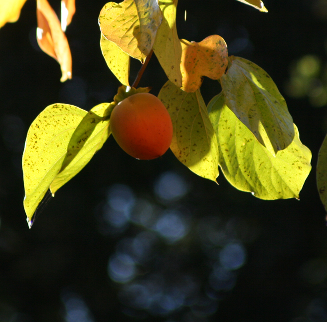 Persimmon Light and Shadow photo Marie Cameron 2012