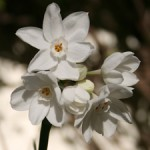 First Sign of Winter - Narcissus - photo Marie Cameron 2012sm
