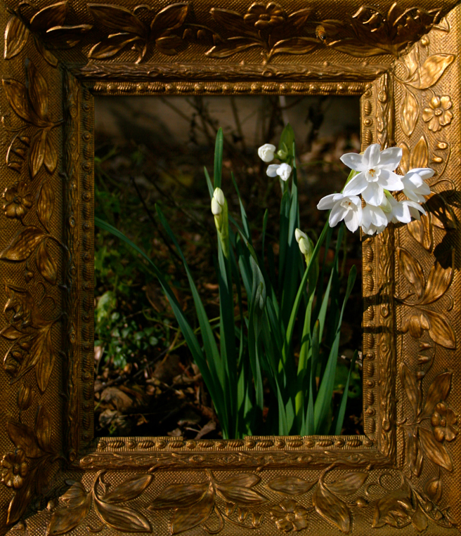 Framed Narcissus - photo Marie Cameron 2012