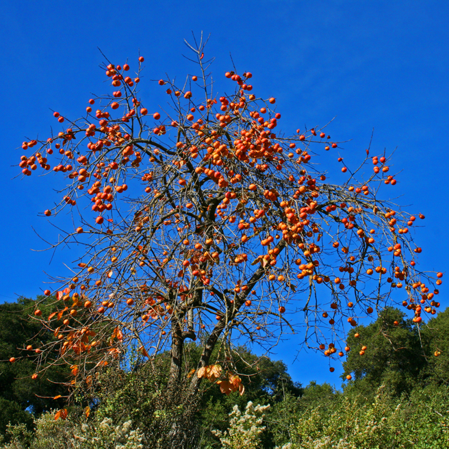 Persimmon Tree - Picchetti photo Marie Cameron 2012