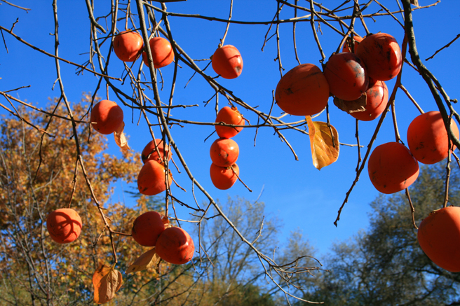 Persimmons and Sky - photo Marie Cameron 2012