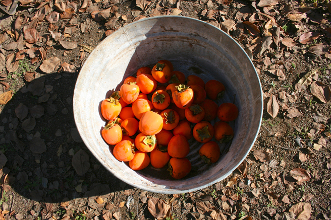 Tub of Persimmons - photo Marie Cameron 2012