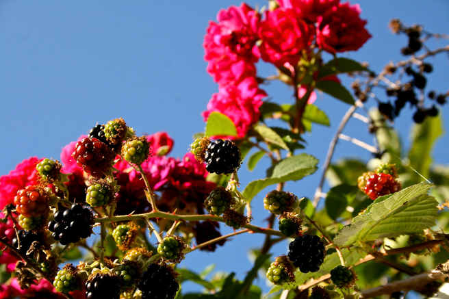 Blackberries, Roses and Sky 2 photograph by Marie Cameron 2013
