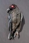 Corpus Corvus REd Marie Cameron 2013