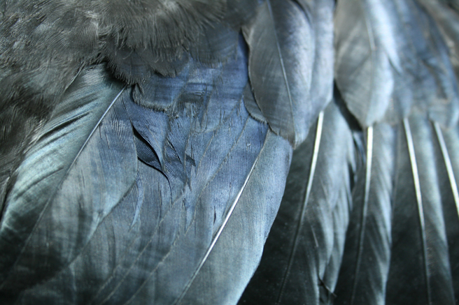 Crow Feathers 1 Marie Cameron 2013
