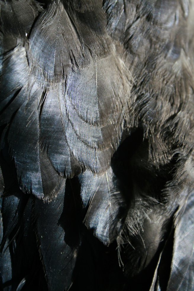 Crow Feathers 3 Marie Cameron 2013