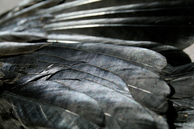 Crow Feathers 4 Marie Cameron 2013