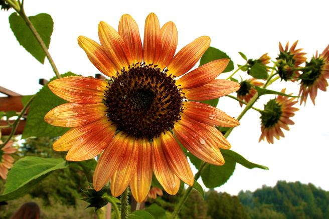 Eco Feast at Love Apple Farm - Autumn Beauty Sunflowers - Marie Cameron 2013