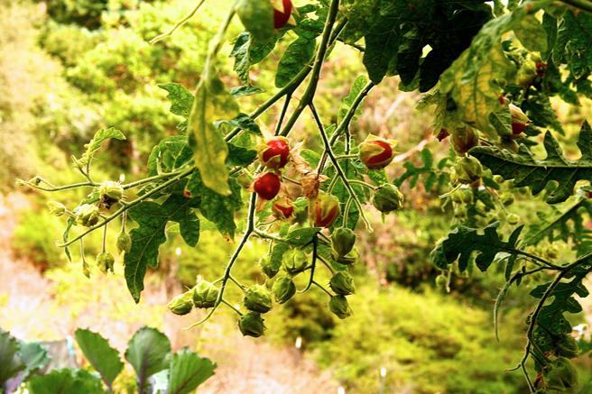Eco Feast at Love Apple Farm - Litchi Tomato- Marie Cameron 2013