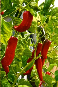 Eco Feast at Love Apple Farm - Mirasol Peppers - Marie Cameron 2013