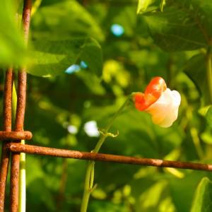 Eco Feast at Love Apple Farm - Scarlet Runner Bean 2- Marie Cameron 2013
