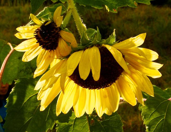 Eco Feast at Love Apple Farm - Sunflowers - Marie Cameron 2013