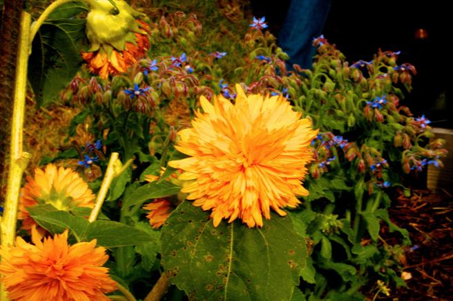 Eco Feast at Love Apple Farm -Teddy Bear Sunflowers- Marie Cameron 2013
