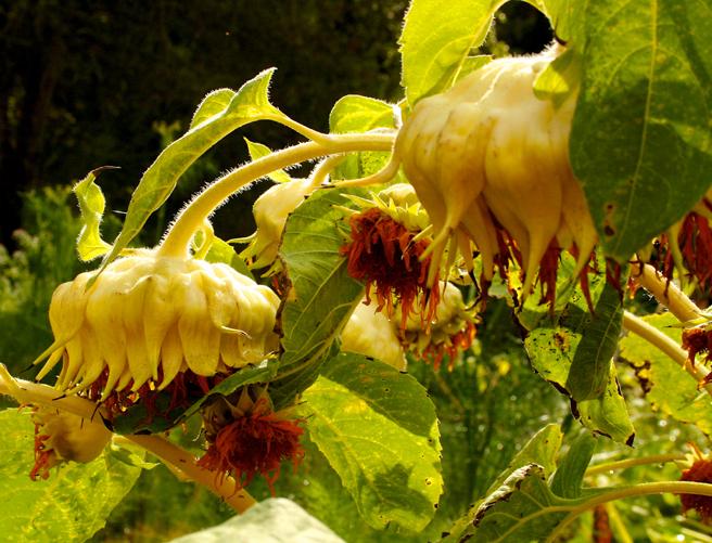 Eco Feast at Love Apple Farm - heavy sunflower heads - Marie Cameron 2013