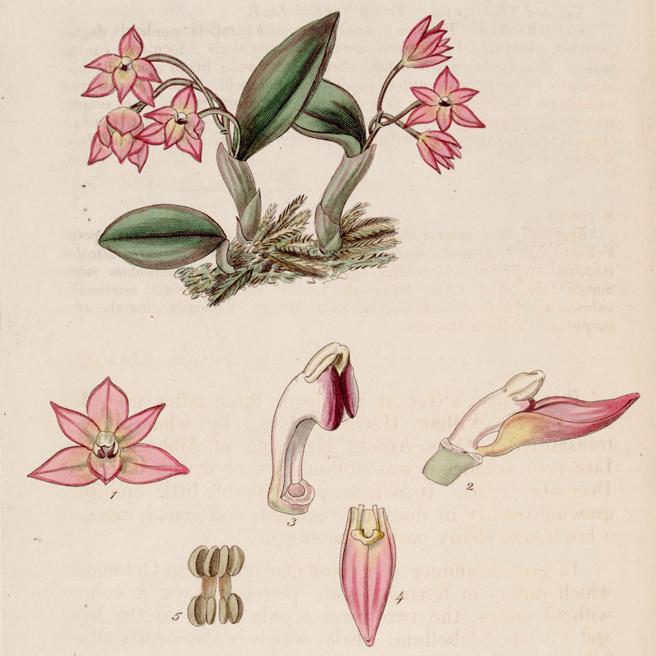 Sophronitis_cernua_(as_Sophronia_cernua)_-_Bot._Reg._13_pl._1129_(1827) web