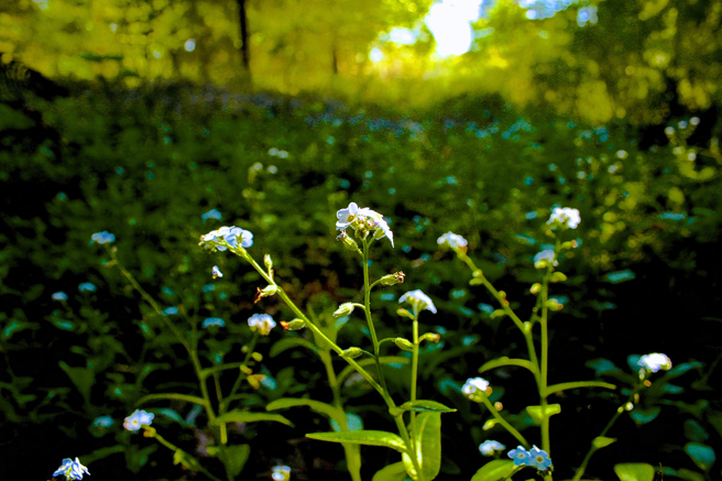 Chasing Forget-me-nots 2  photo Marie Cameron 2014
