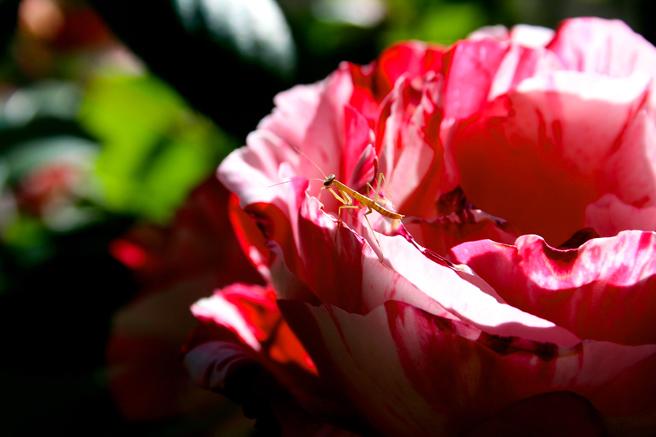 Praying Mantis Baby 2 - photo Marie Cameron 2014
