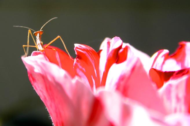 Praying Mantis Baby 5 - photo Marie Cameron 2014