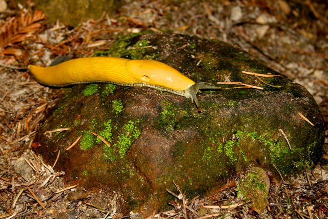 Banana Slug - photo Marie Cameron 2014