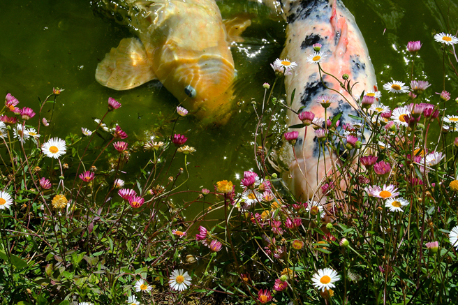 Hungry Koi - photo Marie Cameron 2014