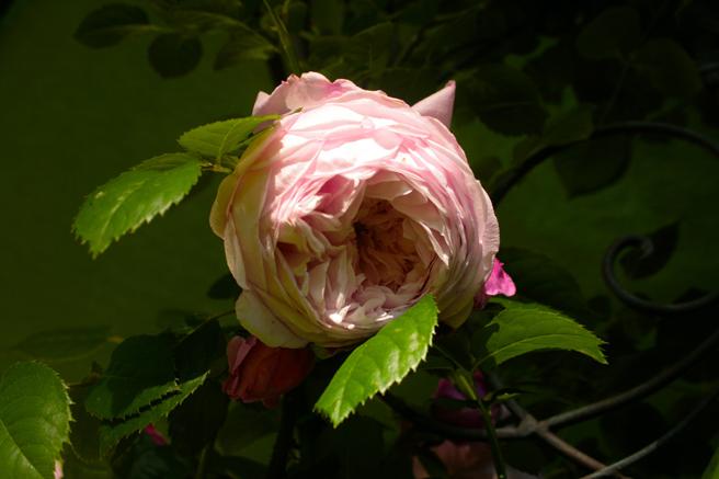 Spirit of Freedom Rose - 1 photo Marie Cameron 2014