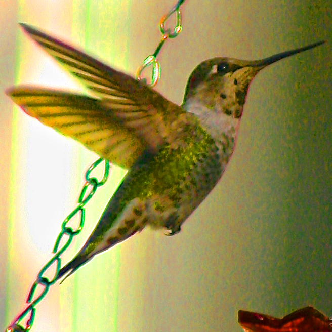 Anna's Hummingbird  - photo Marie Cameron 2013