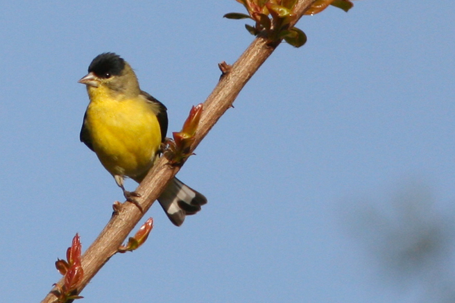 Lesser Goldfinch (male) - photo Marie Cameron 2014
