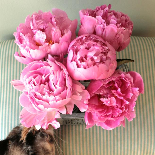 Peonies - Petites Fleurs 6- photo Marie Cameron 2014
