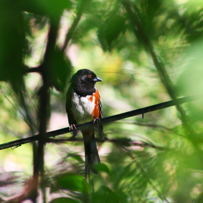 Spotted Towhee (male) - photo Marie Cameron 2014