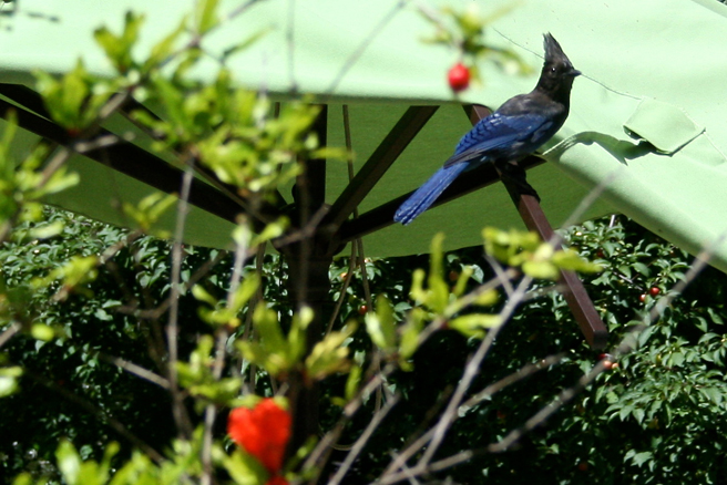 Stellar's Jay - photo Marie Cameron 2014