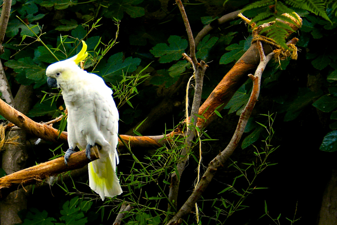 Sulphur Crested Cockatoo - photo Marie Cameron 2013