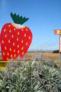 Day-tripping Strawberry, Davenport- photo Marie Cameron 2014