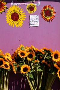 Day-tripping Sunflowers, Davenport- photo Marie Cameron 2014
