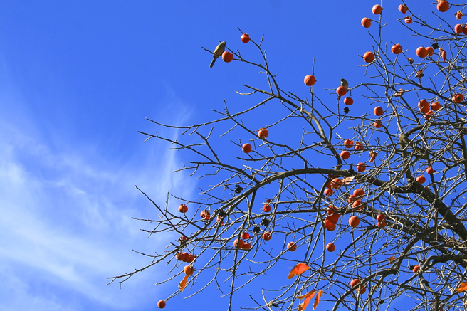 Picchetti Birds in the Persimmons - photo Marie Cameron 2014
