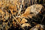 Picchetti - Desiccated Leaf - photo Marie Cameron 2014