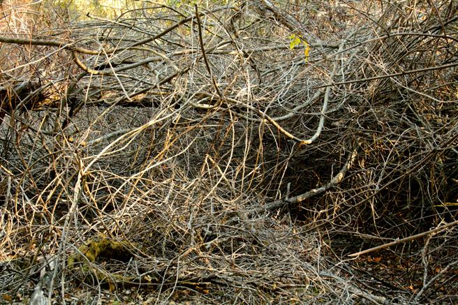 Picchetti - Gray Tangle Dormant Forrest- photo Marie Cameron 2014