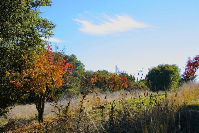 Picchetti Pear trees- photo Marie Cameron 2014