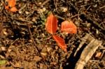 Picchetti - Poison Oak - photo Marie Cameron 2014