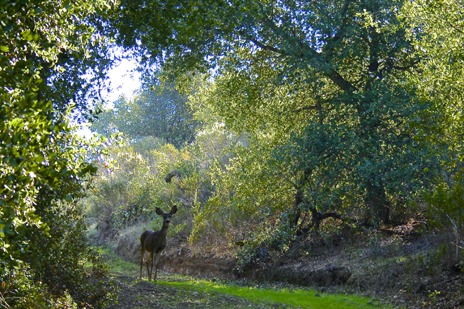 Picchetti deer in the green forrest - photo Marie Cameron 2014