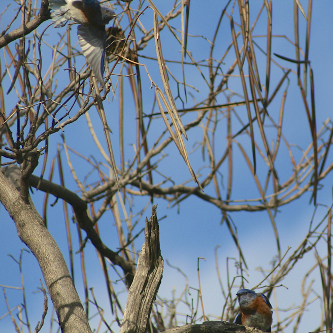 Bluebirds in the Acacia Tree 10 - Marie Cameron 2014