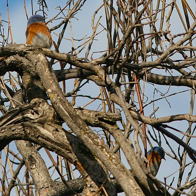 Bluebirds in the AcaciaTree 11 - Marie Cameron 2014