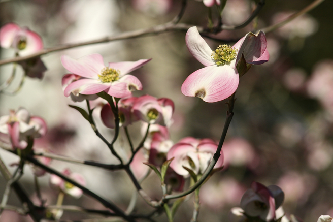 Dogwood - curly pink - Marie Cameron 2015